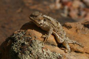 horned, Lizard, Toad, Lizards