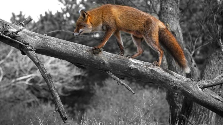 foxes, Fox, Selective, Coloring, Trees HD Wallpaper Desktop Background