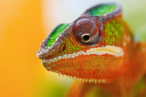 colorful, Chameleon