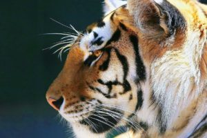 animals, Tigers, Feline