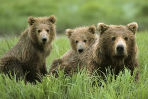 nature, Animals, Grass, Bears