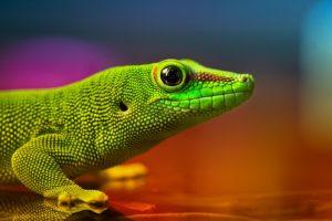 lizard, Reptile, Green, Iridescent, Colors