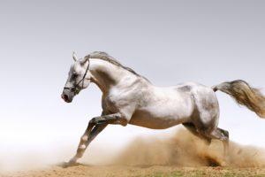 animals,  , Arabian, Horse