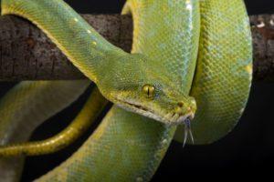 eyes, Scales, Tongue, Green, Snake