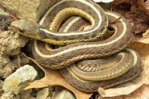 culebra, Enroscada, Reptil, Animales