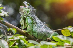 iguana, Reptiles, Animales, Arboles