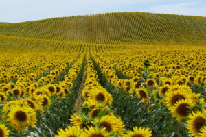 nature, Landscapes, Fields, Flowers, Sunflowers, Petals, Plants, Hills, Yellow