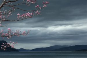 cherry, Blossom, Flowers, Tree, Lake