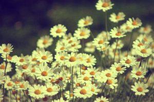 flores, Margaritas, Naturaleza