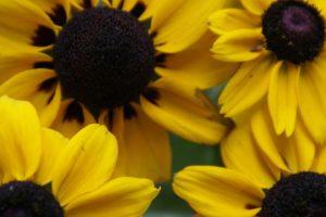 close up, Nature, Sunflowers
