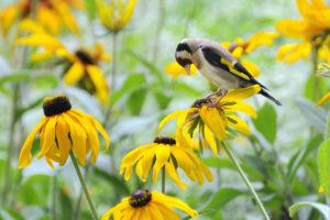 rudbeckia, Bird, Flowers, Yellow