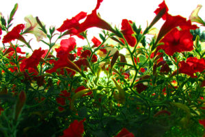 nature, Flowers, Red, Poppy, Poppies, Color, Green, Contrast, Close, Up