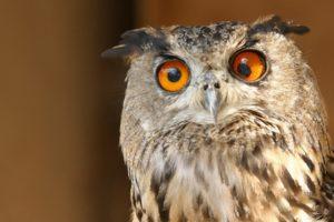 animals, Derp, Owls