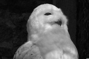 black, And, White, Animals, White, Owl