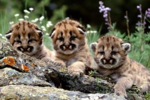 mountain, Lion, Cubs, Cougars, Animals, Cats, Babies, Fur, Faces, Eyes, Whiskers, Rocks, Wildlife, Predators, Flowers, Grass, Cute, Children