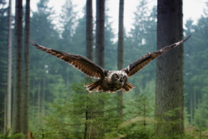 owls, Animals, Birds, Wildlife, Predator, Wings, Feathers, Flight, Fly, Air, Nature, Landscapes, Trees, Forest