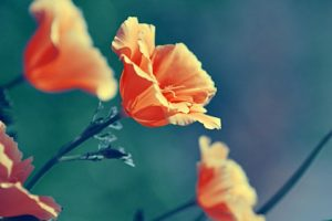 close up, Multicolor, Flowers, Poppies