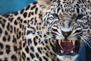 leopards, Animals, Cats, Face, Eyes, Pov, Fangs, Predator, Spots, Pattern, Whiskers