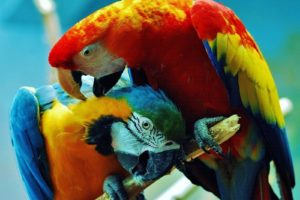birds, Parrots, Costa, Rica, Scarlet, Macaws, Blue and yellow, Macaws