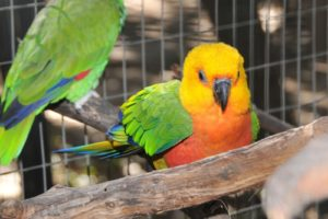 parakeet, Budgie, Parrot, Bird, Tropical,  67