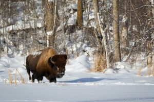 bison, Buffalo, Landscapes, Winter, Snow, Animals, Wildlife, Tees, Forest