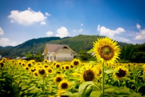 sunflowers, Summer, Field, Nature, Landscapes, Hills, House, Buildings, Architecture, Flower, Yellow