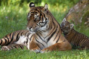 tiger, Babies, Cubs