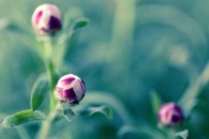 flower, Macro, Buds