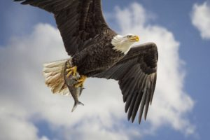 bald, Eagle, Bird, Predator, Wings, Flight, Fish, Catch, Production, Sky