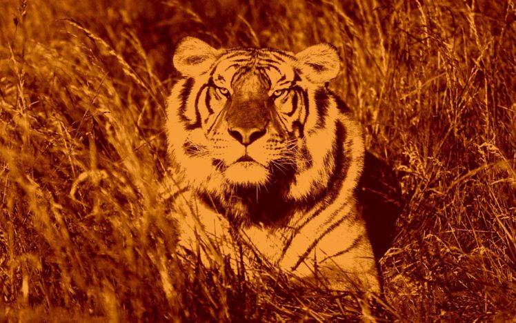 tiger, Cat HD Wallpaper Desktop Background