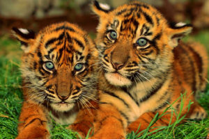 baby, Tigers