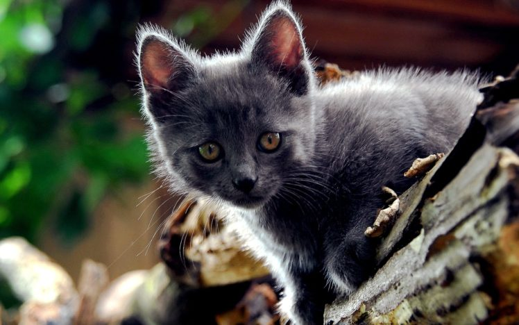 cats, Animals HD Wallpaper Desktop Background