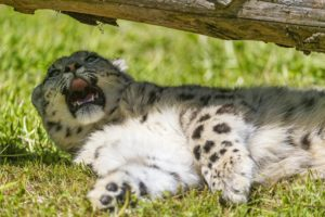 big, Cats, Snow, Leopards, Animals, Leopard