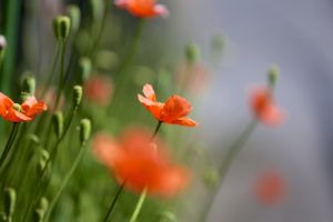 poppies, Red, Field, Many, Summer, Nature, Focus, Bokeh, Poppy, Macro