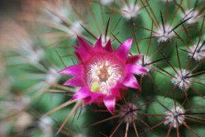 cactus, Flower, Spines, Macro