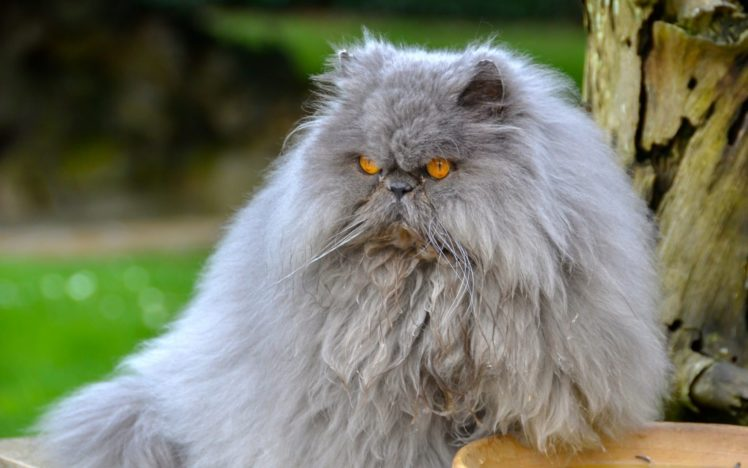 Persian Cat Fluffy Wallpapers Hd Desktop And Mobile Backgrounds