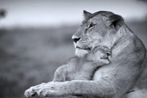 cats, Wild, Lioness, Mother, Son, Cub, Predators, Animales, Life, Tenderness
