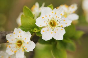 cherry plum, Flowers, Macro, Tree, Leaves