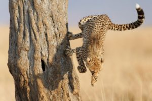 cats, Animals, Cheetahs