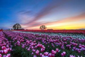 tulips, Colorful, Flowers, Trees, Evening, Sunset, Sky, Clouds, Hdr, Bokeh