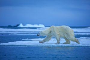 bears, Polar, Bears, Ice, Animals
