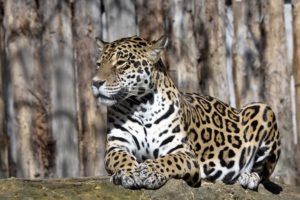 jaguars, Animals, Wallpapers