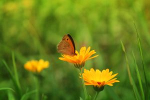butterfly, Insect, Flowers, Nature, Green, Calendula