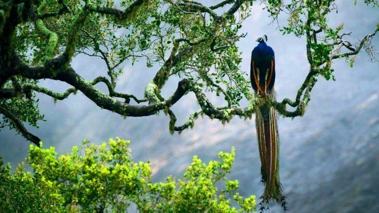 peacock, Trees, Animals, Birds HD Wallpaper Desktop Background