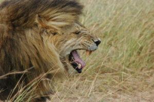 lion, Cat, Predator
