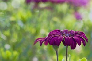 nature, Flower, Garden, Wild, Drop, Macro, Cosmos, Pink, Hd, Wallpaper