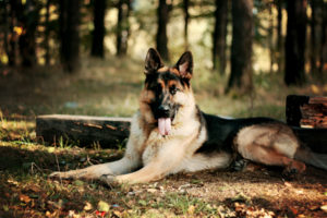 animals, Dogs, Canines, Shepherds, Leaves, Autumn, Fall, Seasons, Trees, Grass, Forest