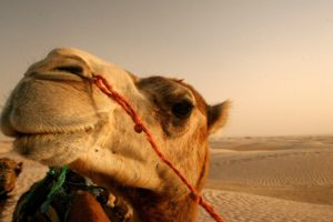 close up, Nature, Animals, Deserts, Egypt, Camels