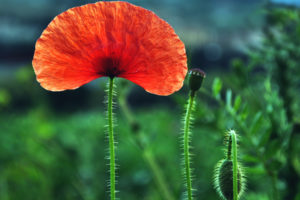 nature, Flowers, Poppy, Poppies, Petals, Red, Green, Plants, Bulbs, Macro, Closeup, Fields, Landscapes, Color, Contrast