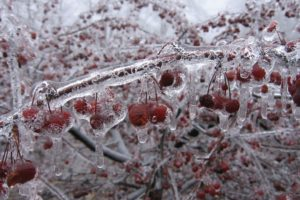 cherry, Fruit, Nature, Winter, Ice, Freezing, Cold, Orchard, Trees